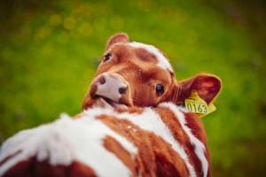 Kalv, ku, kyr, sau, dyr på beite - Golsfjellet i Hallingdal.
