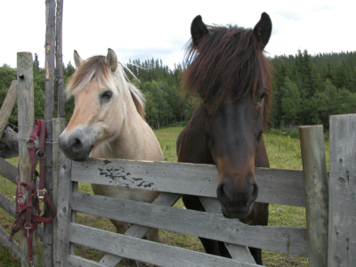 Til hverdag og fest, hest er best ;-). Foto: Thorgeir Røer