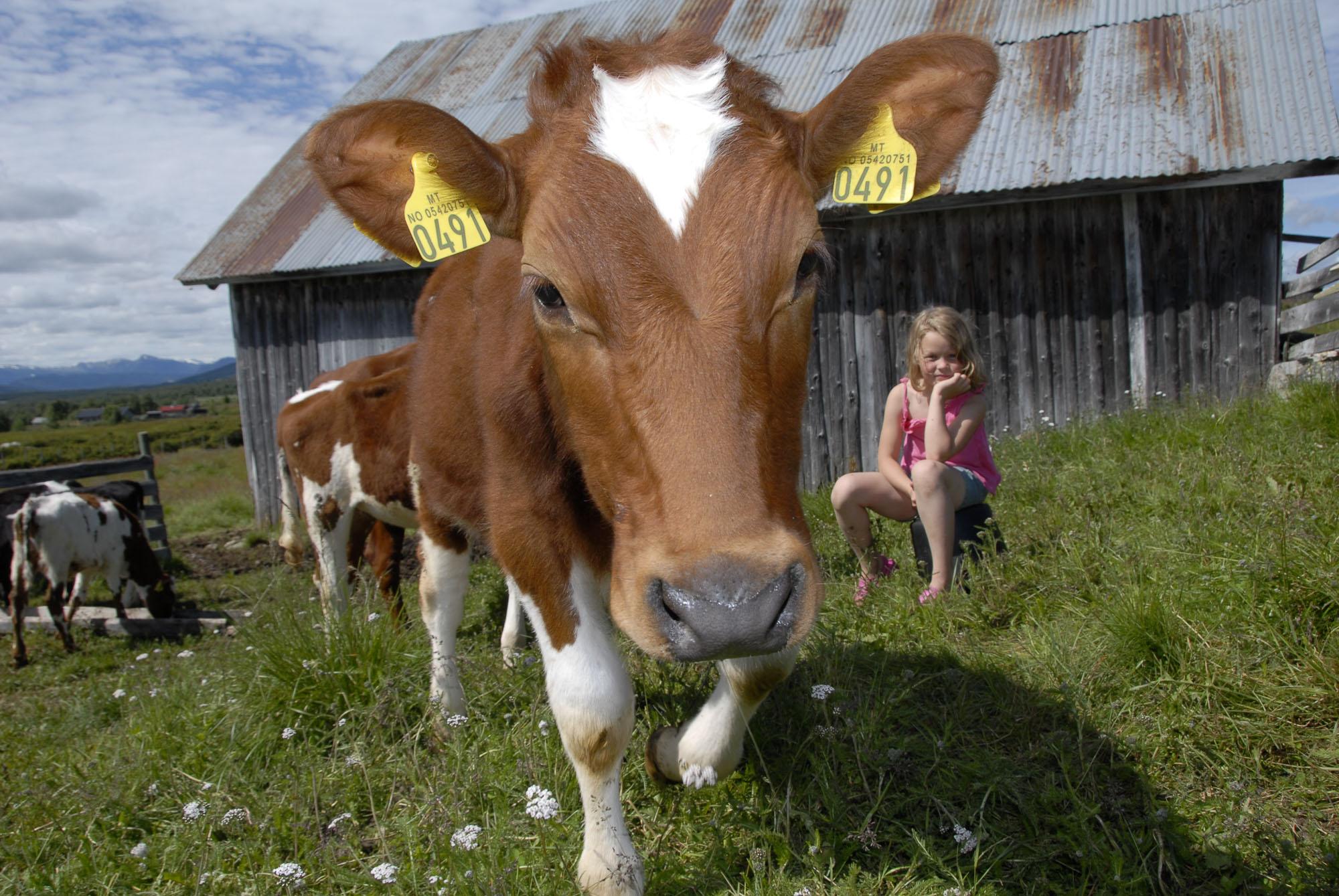Dyr på beite, viktig for kulturlandskapet. Ku, kyr, kalv. Hallingdal, Valdres, Hemsedal, Golsfjellet, Stølsviddene. Foto: Thorgeir Røer