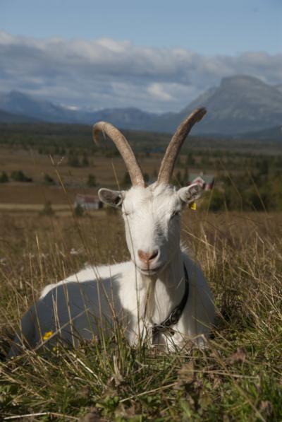 Dyr på beite, viktig for kulturlandskapet. Geit. Hallingdal, Valdres, Hemsedal, Golsfjellet, Stølsviddene. Foto: Thorgeir Røer