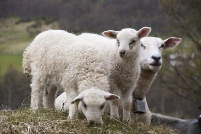 Dyr på beite, viktig for kulturlandskapet. Sau med lam. Hallingdal, Valdres, Hemsedal, Golsfjellet, Stølsviddene. Foto: Thorgeir Røer
