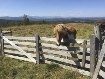 Dyr på beite, viktig for kulturlandskapet. Hest. Hallingdal, Valdres, Hemsedal, Golsfjellet. Foto: Thorgeir Røer