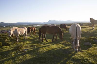 Dyr på beite, viktig for kulturlandskapet. Hest. Hallingdal, Valdres, Hemsedal, Golsfjellet, Stølsviddene. Foto: Thorgeir Røer